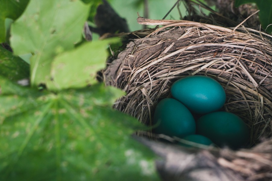 four robins eggs in their nest